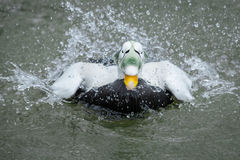 Eider commun Photo libre de droits