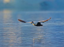 Eider Royalty Free Stock Photo