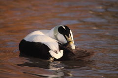 Eider duck Stock Photography