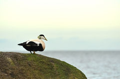 Eider duck. Sits on a stone Stock Image