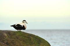 Eider duck Stock Image