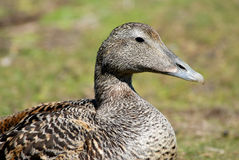 Eider duck Royalty Free Stock Images