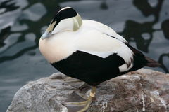 Eider Duck royalty free stock image