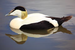 Eider Duck Stock Photos