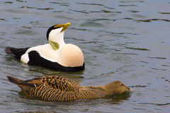 Eider duck couple, lake Zurich Royalty Free Stock Image