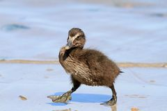 Free Eider Duck Duckling Royalty Free Stock Photography - 45347437