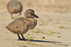 Eider Duck ducklings Stock Photos