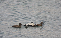 Eider Duck Family. Somateria mollissima or Eider Duck. Two male drakes and three females with ducklings , swimming at sea royalty free stock photo