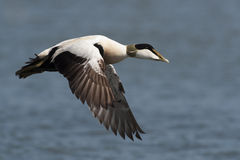 Eider duck in flight Stock Images