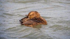 Eider Duck floating backwards royalty free stock images