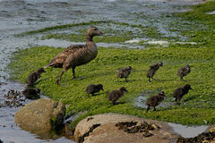 Eider Duck and her Ducklings. A female Eider Duck with her nine Ducklings Royalty Free Stock Images