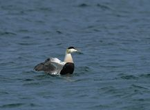 Eider Duck male flapping wings Royalty Free Stock Image