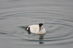 Eider Duck Male. Somateria mollissima or Eider Duck. A male drake, swimming at sea Stock Photography