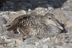 Eider duck on the nest in the Arctic tundra royalty free stock photography