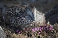Eider duck nesting Royalty Free Stock Images