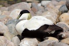 Eider duck (Somateria mollissima) Stock Photography