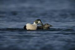 Eider duck, Somateria mollissima Royalty Free Stock Photography