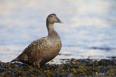 Eider duck, Somateria mollissima Royalty Free Stock Photos