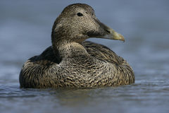 Eider duck, Somateria mollissima Royalty Free Stock Images