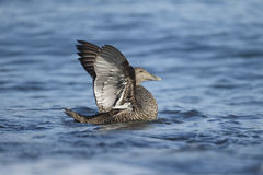 Eider duck, Somateria mollissima Stock Photos