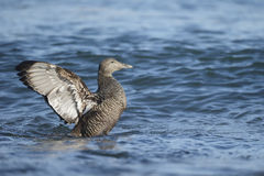 Eider duck, Somateria mollissima Stock Photography