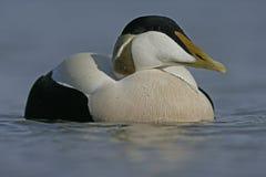 Eider duck, Somateria mollissima Royalty Free Stock Photo