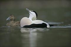 Eider duck, Somateria mollissima Stock Images