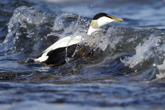 Eider duck, Somateria mollissima Royalty Free Stock Images