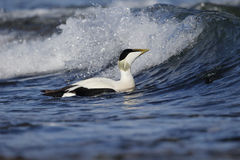 Eider duck, Somateria mollissima Royalty Free Stock Photography