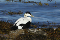 An Eider duck Somateria mollissima sitting on seaweed and rocks at the edge of the sea. Stock Images