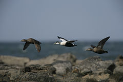 Eider duck, Somateria mollissima Royalty Free Stock Image