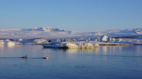 Eider ducks at Jokulsarlon. Eider ducks swimming in Jokulsarlon glacier lake in Iceland royalty free stock image