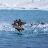 Eider ducks taking off for flight on an arctic lake Royalty Free Stock Images