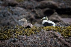 Free Eider Male And Female Duck Royalty Free Stock Image - 128357396
