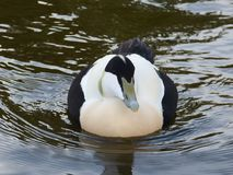 Eider. Male Eider duck, swims in close Royalty Free Stock Image