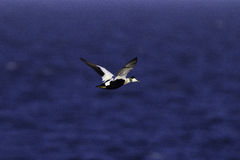 Eider male in flight Stock Photo