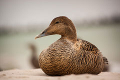 Eider Royalty Free Stock Photography