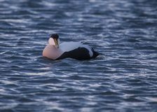 Eider Royalty Free Stock Images