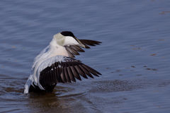 Eider stretching its wings Stock Images