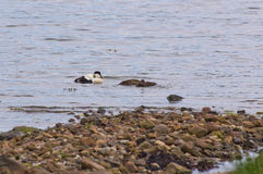 Eiders and ducklings. Eider ducks with some ducklings Stock Photo