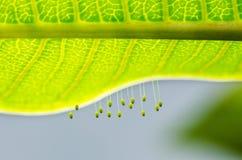 Eier des grünen Lacewing lizenzfreie stockfotos