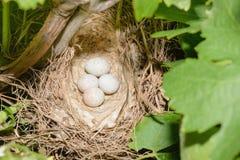 Eier im Vogel nisten unter den Niederlassungen von Trauben Lizenzfreie Stockfotos