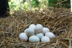 Eier setzten sich in das Stroh, weißes Entenei stockbilder