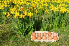 Eieren in doos op gras met gele gele narcissen Royalty-vrije Stock Afbeeldingen