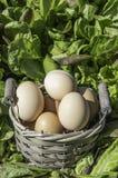 Eieren in een mand op een gebied van insalad Stock Foto