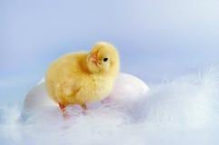 Eieren en kuiken stock afbeeldingen