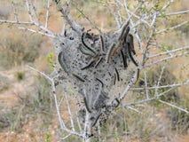 Eieren en Rijpe larven, Westelijke Tentrupsbanden die matig met maat rupsbanden, of mottenlarven, soort Malacosoma, famil zijn royalty-vrije stock fotografie