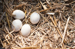 Eieren in het nest Stock Afbeeldingen