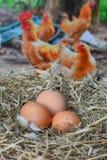 Eieren in het nestfreshei Stock Fotografie