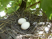 Eieren in nest Royalty-vrije Stock Foto's